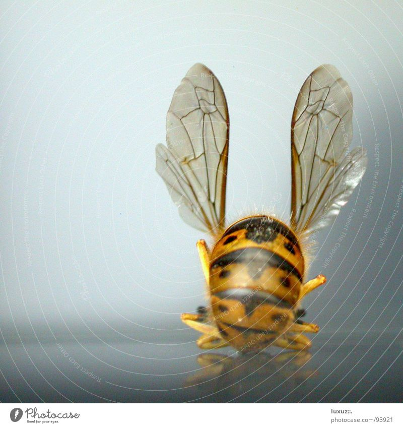 I'll dance in your ear Bee Wasps Insect Striped Sit Cross Legged Departure Hind quarters Airport Communicate Dance Wing Backwards
