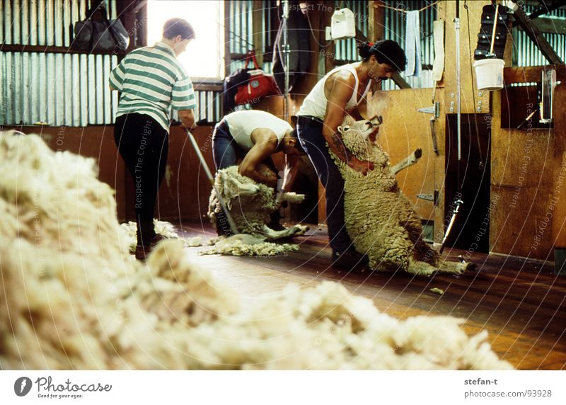 hard working man III New Zealand Work and employment Stoop Sheep Sheep shearing Wool Perspiration Physics Hot Stuffy Effort Pelt Animal New wool Farmer