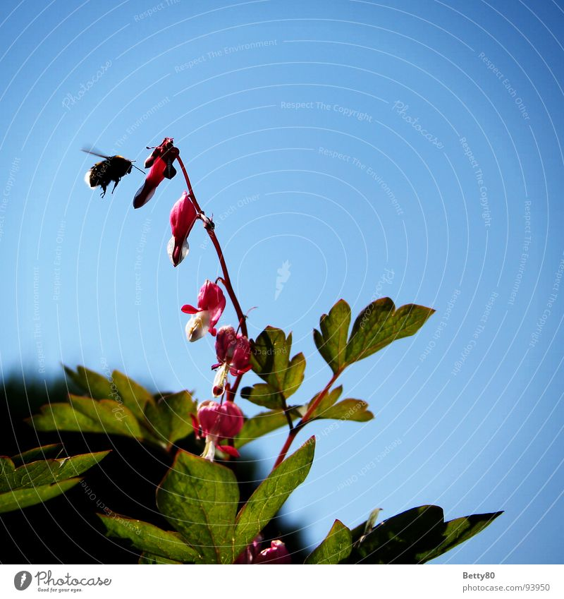 Nature Sky Plant Aviation Insect Bee Airplane landing Collection Bumble bee Stamen Foraging Nectar Bleeding heart