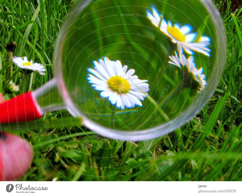 Nature Flower Meadow Grass Daisy Magnifying glass Vista