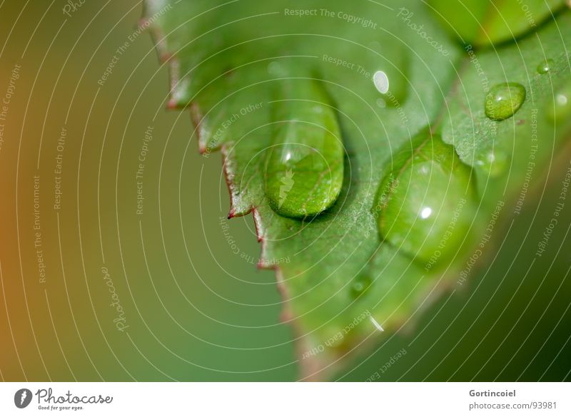 Water Green Plant Leaf Autumn Rain Drops of water Dew Prongs Rose leaves
