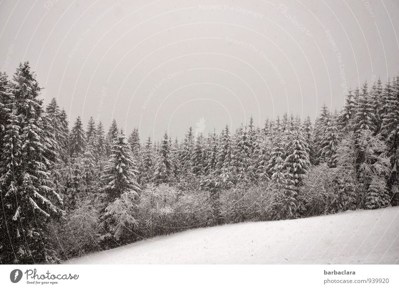 snowflakes Nature Landscape Earth Air Sky Winter Snow Snowfall Forest Black Forest Cold Moody Calm Climate Senses Environment Change Black & white photo