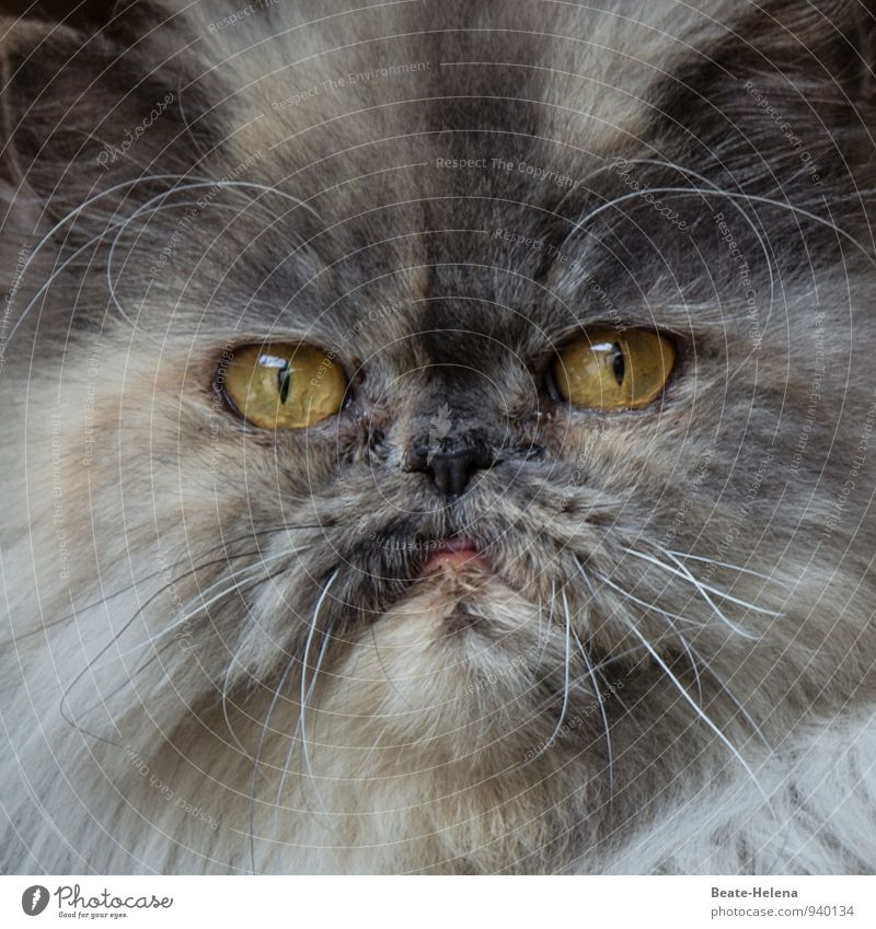 No reason for arrogance | 500 Pelt Cat Animal face 1 Observe Looking Aggression Threat Dark Eroticism Yellow Gray White Power Determination Envy Arrogant
