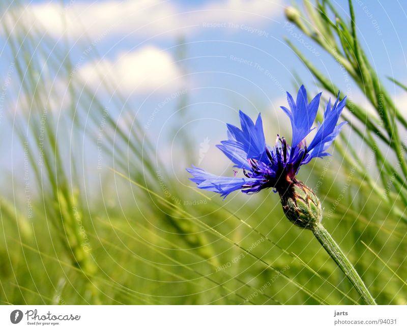cornflower blue Cornflower Flower Cornfield Clouds Summer Field Agriculture Organic farming Grain Sky Blue jarts