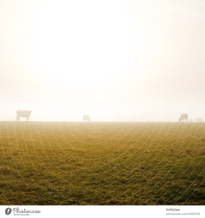 family muh Agriculture Forestry Animal Farm animal Cow Herd Gold Fog Autumn Autumnal Meadow Pasture Horizon To feed Grassland Colour photo Exterior shot Day