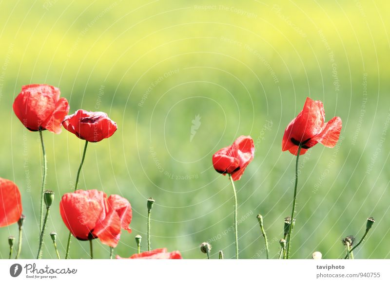 poppies in the wind Beautiful Summer Garden Environment Nature Landscape Plant Wind Flower Grass Blossom Meadow Growth Bright Natural Clean Wild Blue Green Red