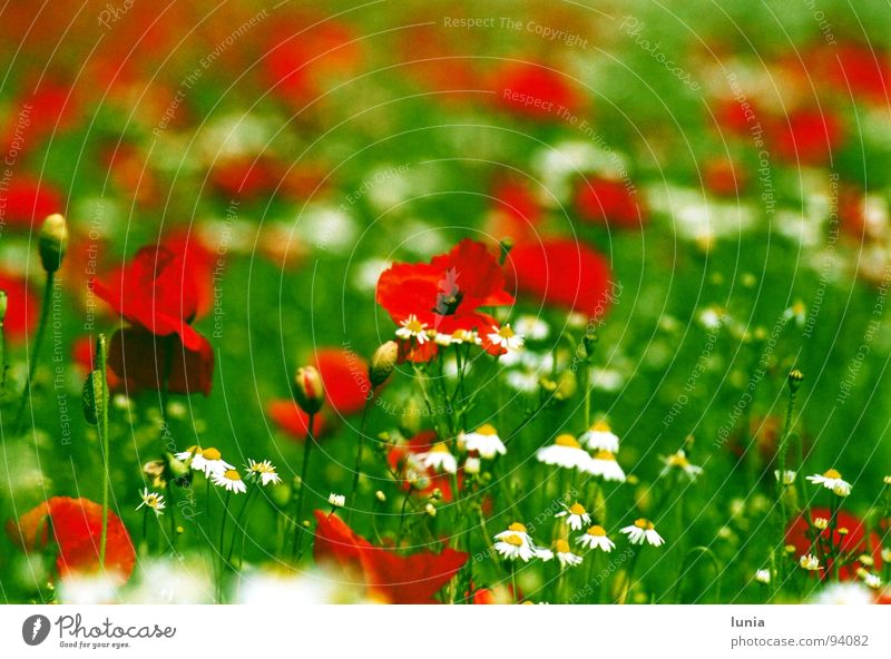 Poppy seed meets chamomile Chamomile Meadow Grass Green Red White Yellow Summer Weed Medicinal plant