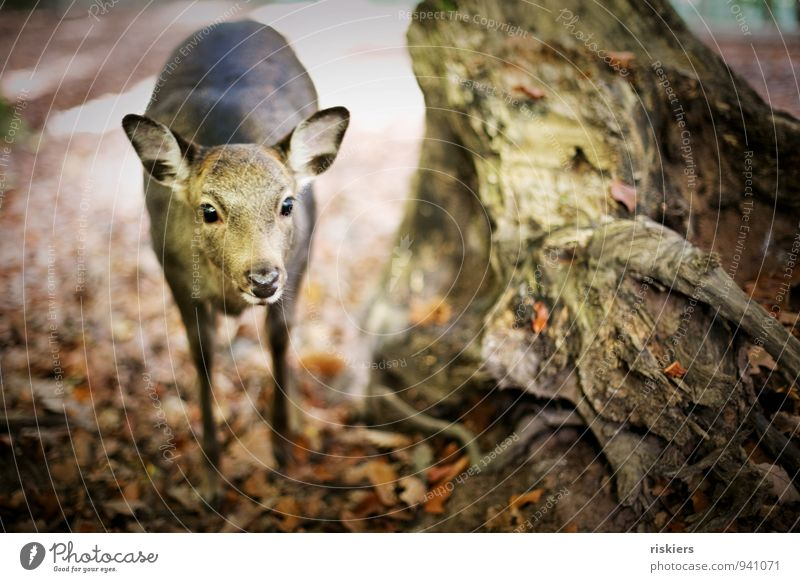 doe eyes Environment Nature Autumn Beautiful weather Leaf Root Tree Forest Animal Wild animal Zoo Roe deer 1 Observe Looking Stand Wait Curiosity Brown