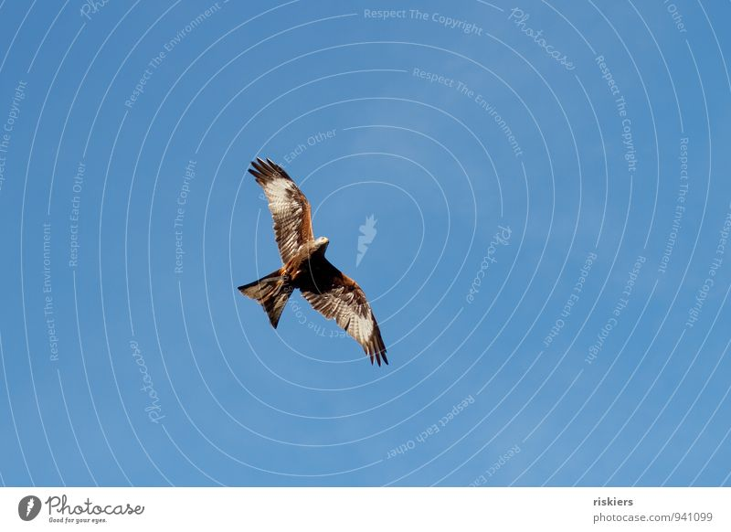 unattached Animal Wild animal Bird Red kite 1 Observe Flying Esthetic Far-off places Beautiful Watchfulness Patient Calm Elegant Freedom Heaven Colour photo