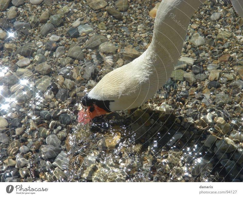 Nature Animal Lake Bird To feed Swan Starnberg