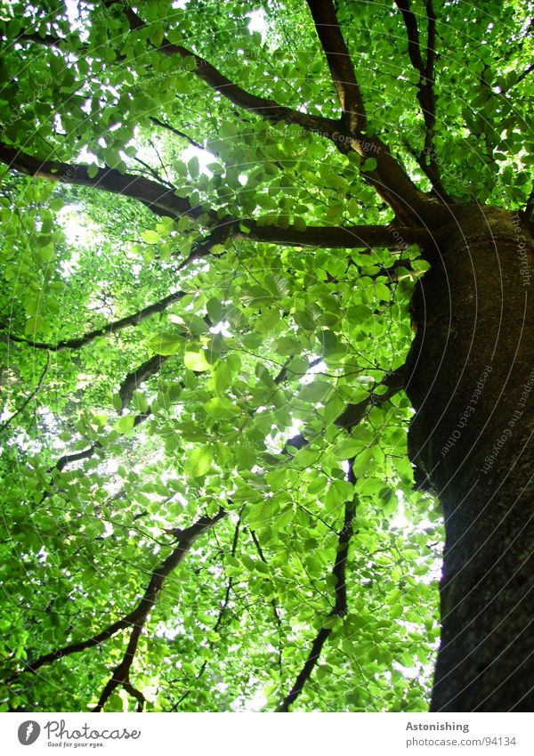 Nature Beautiful Old Tree Green Plant Summer Leaf Black Environment Tall Perspective Growth Branch Tree trunk Treetop