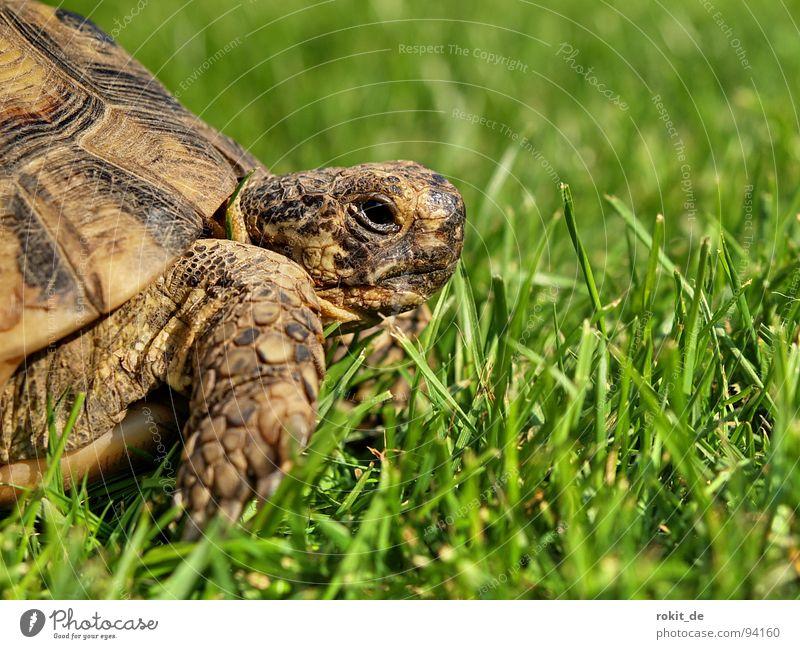 FLOCKI I. Turtle Loyalty Slowly Breathe Grass Tortoise Hard Claw Year Eltville Pet Alert Trust Summer Armor-plated Old Feasts & Celebrations Barn flock