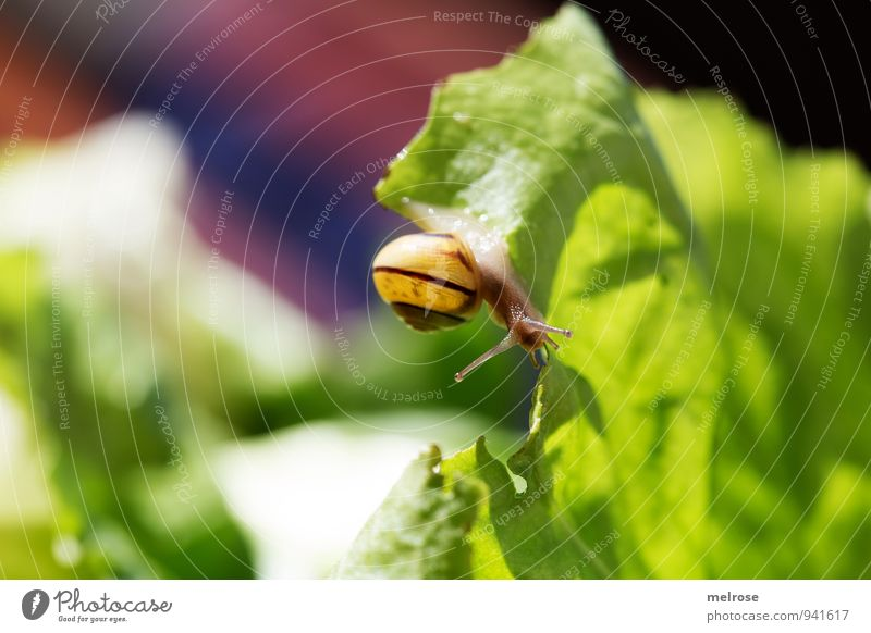 """salad leaf trip Environment Sunlight Autumn Beautiful weather Foliage plant Agricultural crop salad leaves green salad Garden Animal Snail Mollusk """"nocturnal,"""""""