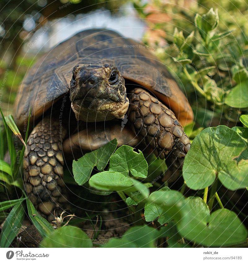 FLOCKI II. Turtle Loyalty Slowly Breathe Grass Tortoise Hard Claw Year Eltville Pet Alert Macro (Extreme close-up) Close-up Joy Armor-plated Old