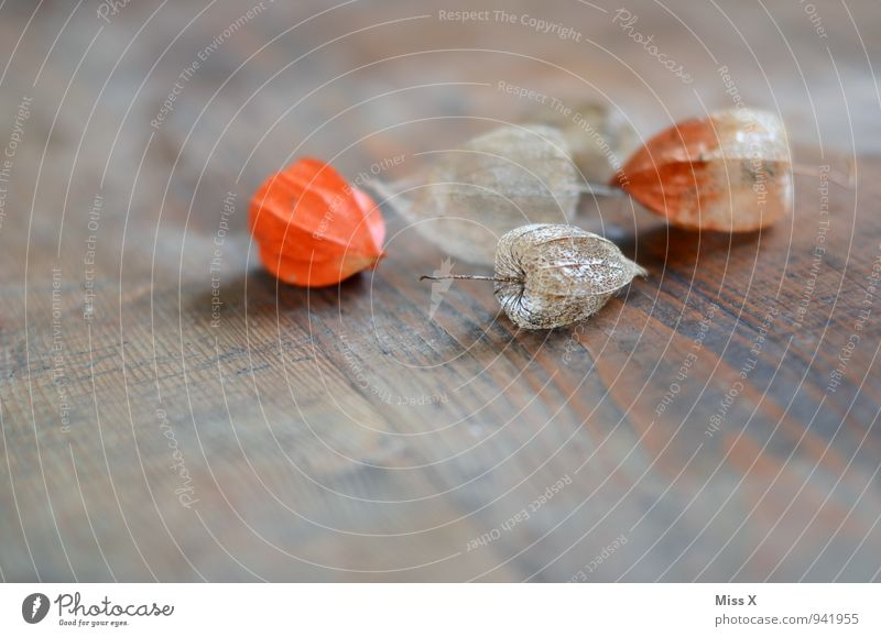 physalis Fruit Autumn Flower Decoration Kitsch Odds and ends Collection Wood Faded To dry up Dry Decline Transience Physalis Chinese lantern flower Dried flower
