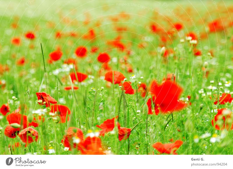 poppy boom Fresh Fruity Multiple Corn poppy Red Delicate Thorny Open Green Multicoloured Blossoming Summer Foliage plant Motion blur Poppy field Gaudy Chamomile