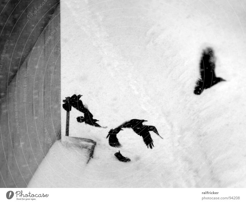 raben in the snow Raven birds Black Scare Departure Snowfall Crow Gloomy Gray Exterior shot Winter Flying Aviation Escape Black & white photo