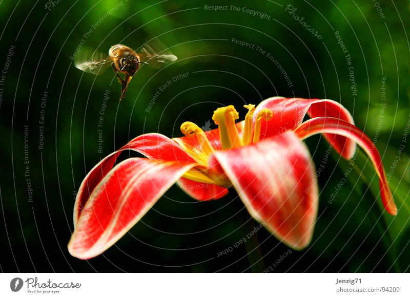 Landing approach. Bee Flower Blossom Tulip Insect Flying Blossoming