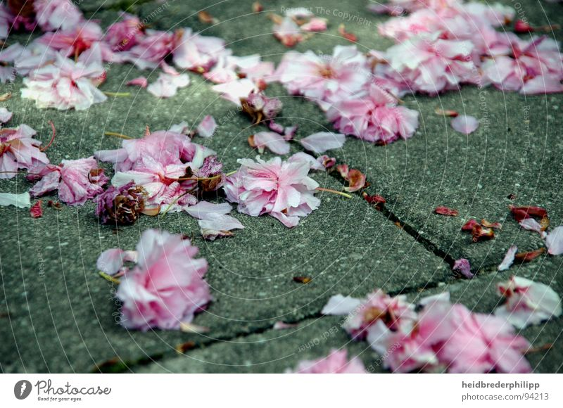 A sea of flowers Blossom Flower Spring Pink Macro (Extreme close-up) Close-up Stone Perspective Earth