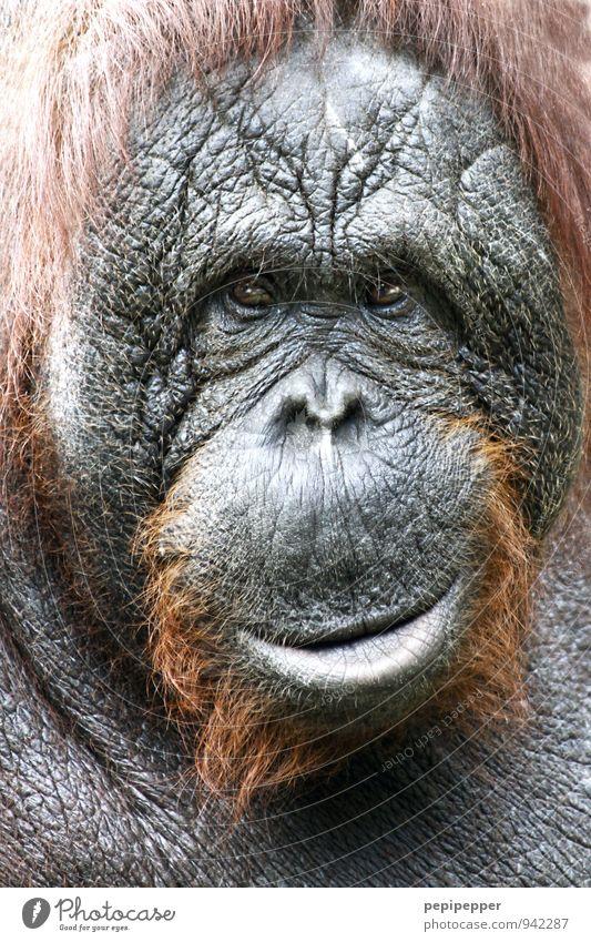 Old Animal Emotions Gray Brown Wild animal Smiling Observe Serene Zoo Monkeys Wisdom Orang-utan