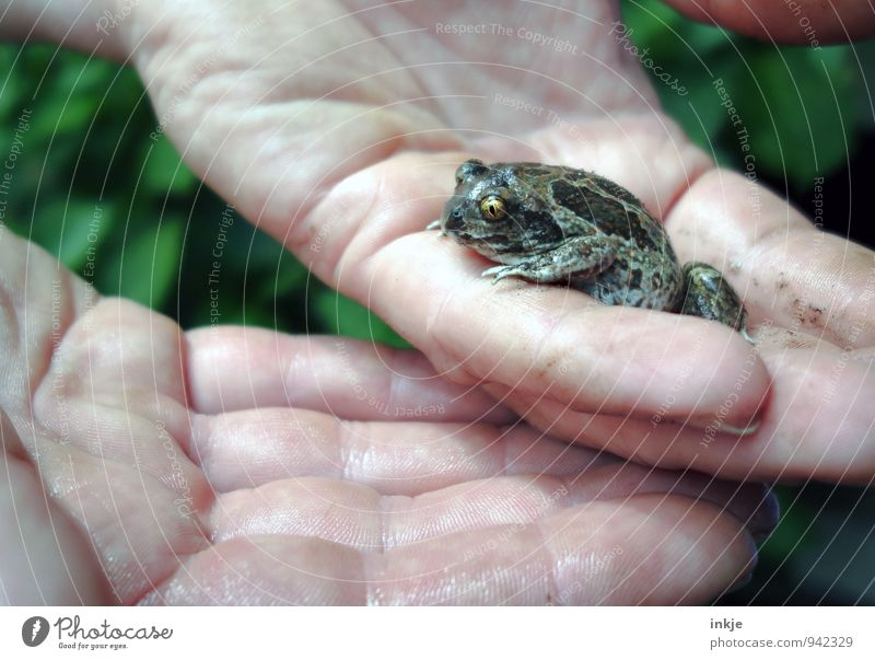foundling Education Biologist Biology Hand Animal Wild animal Frog Common toad 1 Crouch Small Natural Cute Emotions Protection Love of animals Responsibility