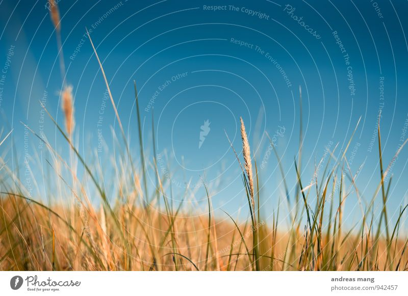 gold Environment Nature Cloudless sky Summer Autumn Plant Grass Bushes Wild plant Field Growth Healthy Blue Yellow Gold Movement Uniqueness Freedom Colour photo