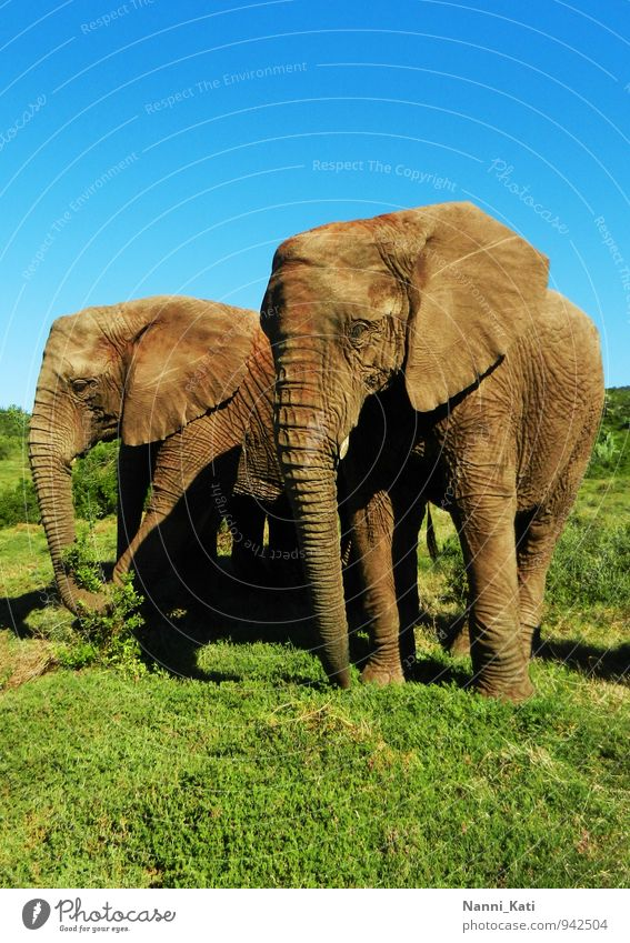 elephants Animal Wild animal Zoo Elephant Safari Africa South Africa 2 Herd Authentic Free Healthy Gigantic Infinity Natural Blue Brown Green