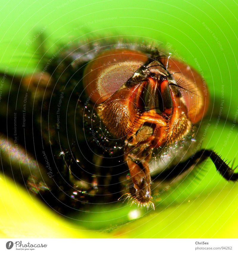 Eyes Animal Legs Metal Brown Fear Fly Wing Insect Panic Feeler Frontal Pests Dipterous Compound eye Blowfly