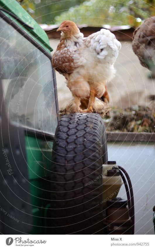 reserve chicken Village Tractor Farm animal Bird 1 Animal Looking Barn fowl Tire Tractor wheel Poultry farm Rural Livestock breeding Colour photo Exterior shot