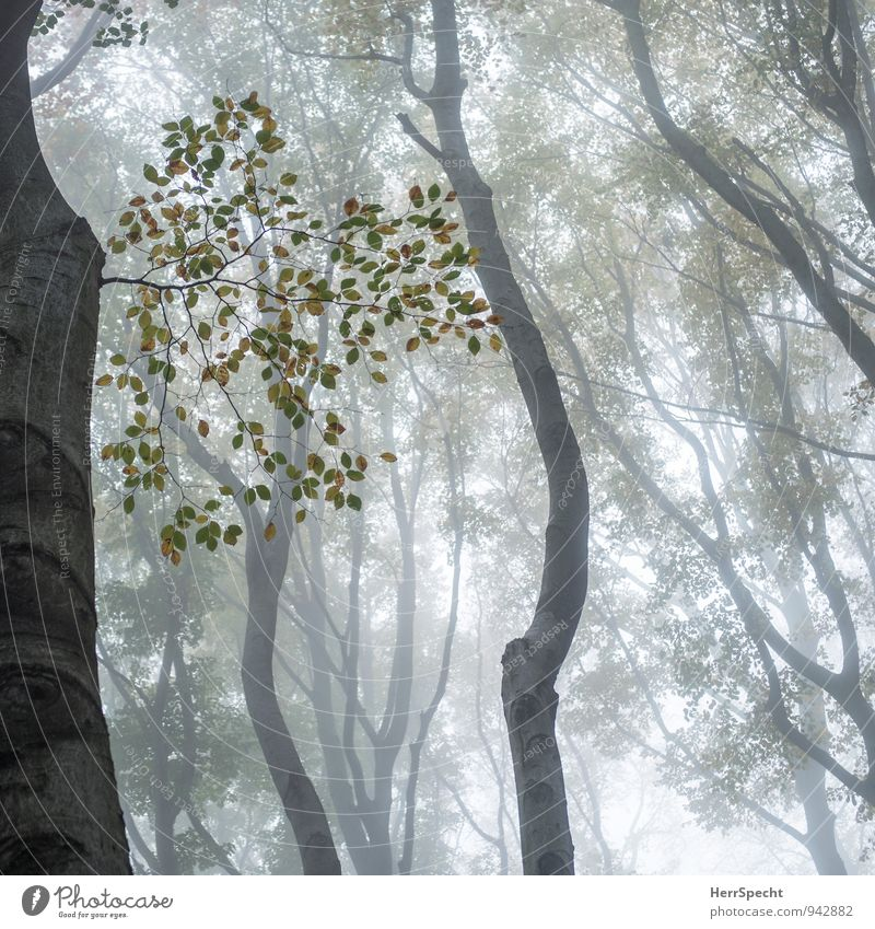 Cloud forest V Environment Nature Autumn Bad weather Fog Tree Forest Creepy Natural Brown Gray Green Misty atmosphere Autumnal Autumnal colours Autumnal weather