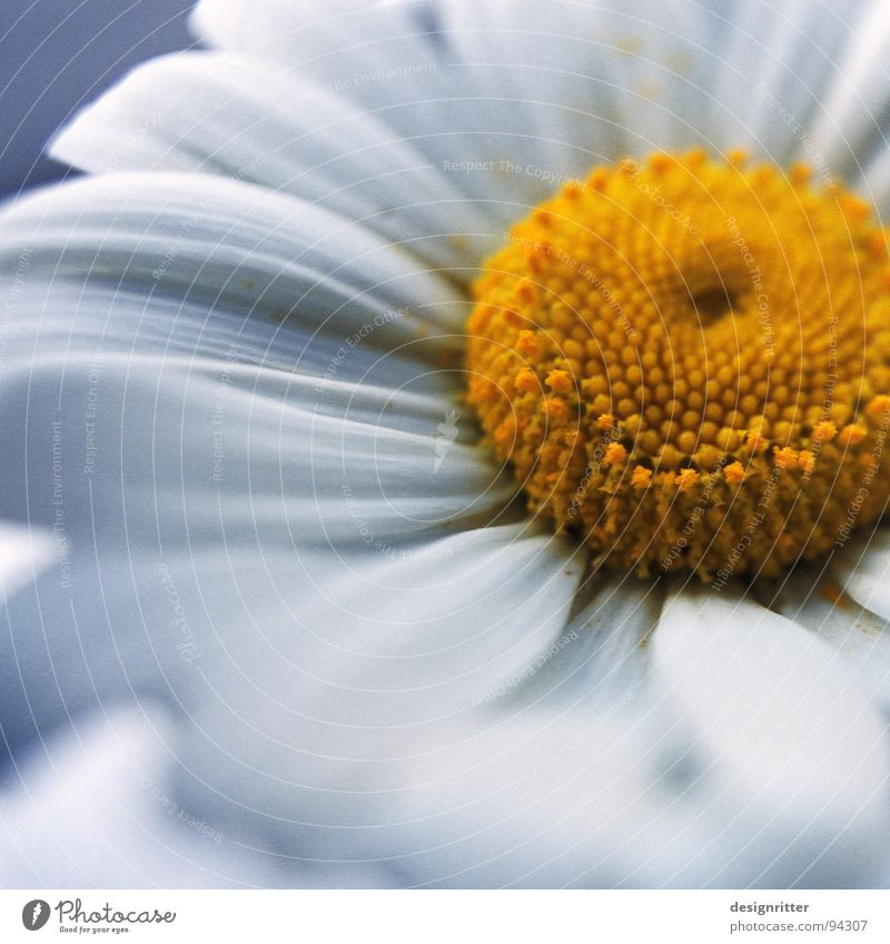 Leucanthemum vulgare Marguerite Flower Blossom Plant White Yellow Pollen Soft Delicate Fragile bloom
