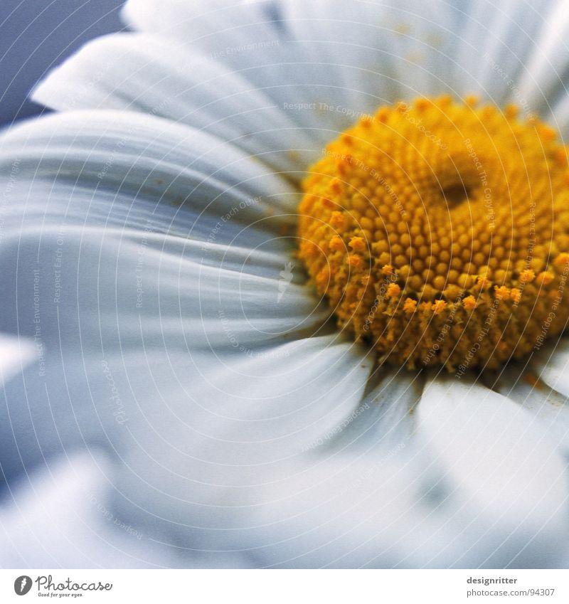 White Flower Plant Yellow Blossom Soft Delicate Pollen Fragile Marguerite