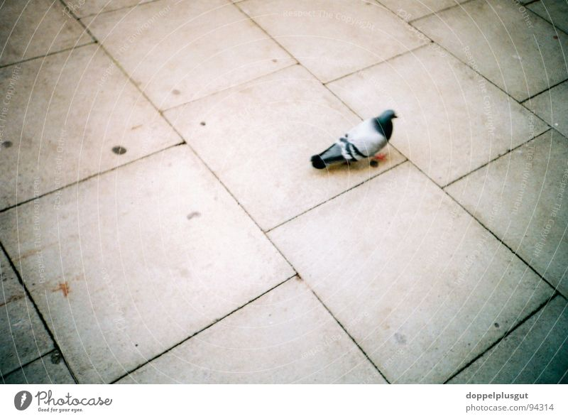 alone in the hall Pigeon Sidewalk Animal Bird Stone slab Gray Loneliness Town Concrete Lomography