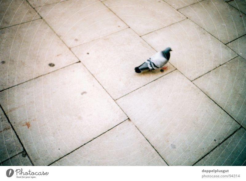 City Loneliness Animal Gray Bird Concrete Sidewalk Pigeon Stone slab