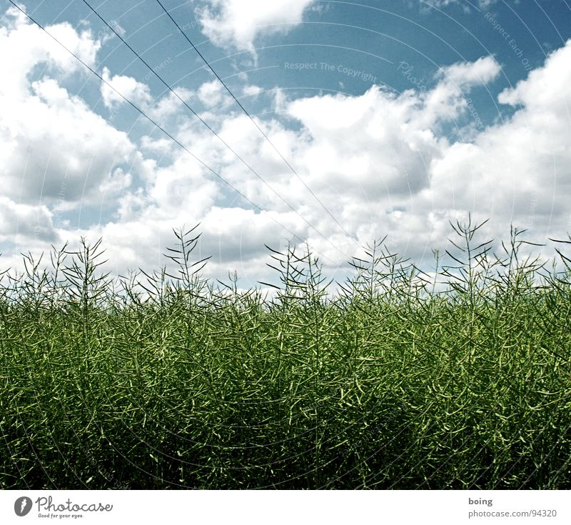 RAP in the changing seasons Sky Field Agriculture Canola Cooking oil Bio-diesel Maturing time Green pastures High voltage power line Renewable energy Rain