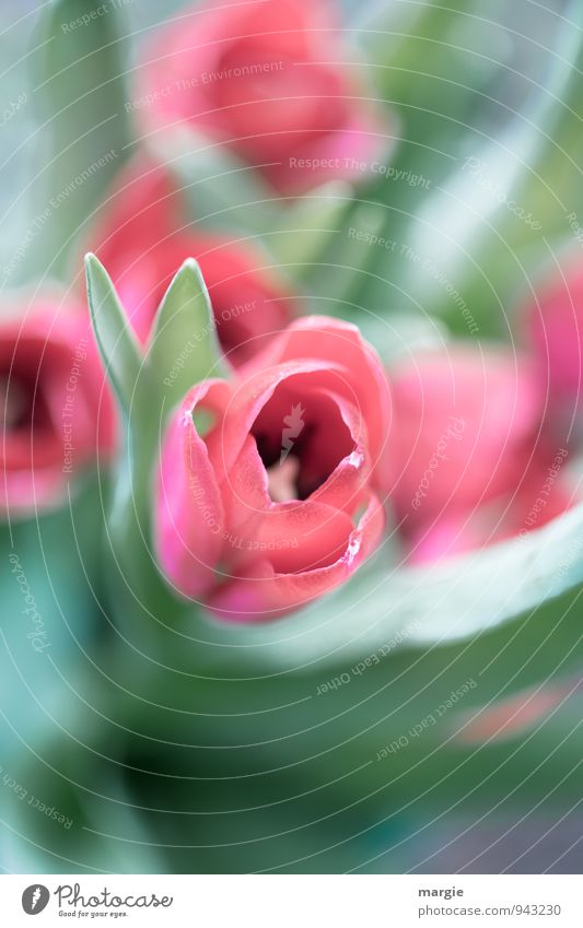Tulips bed Garden Nature Plant Spring Flower Leaf Blossom Foliage plant Tulip blossom Vase Blossoming Esthetic Fresh Green Pink Red Emotions Happy