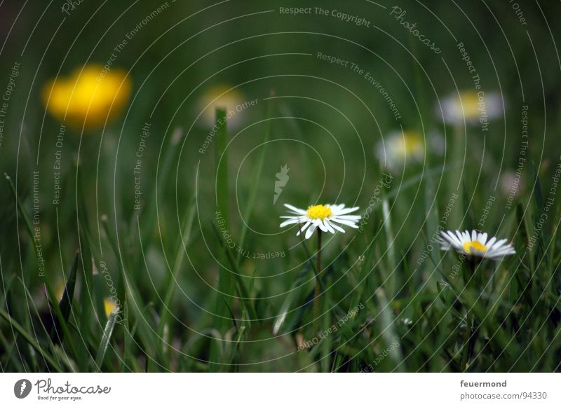 Summertime, and the livin´ is easy... Flower Flower meadow Daisy Joy Green Blossom Bright happy summertime
