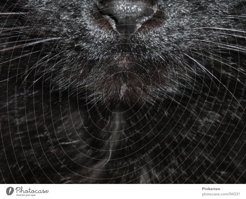 The cat is a freelancer Cat Panther Snout Whisker Nose Odor Pelt Soft Glittering Cuddly Caress Mammal pussy parlourieger parquet panther Muzzle Mouth