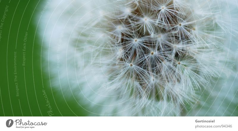 softy Nature Plant Flower Soft Dandelion Seed Colour photo Subdued colour Exterior shot Detail Macro (Extreme close-up) Copy Space left Shallow depth of field