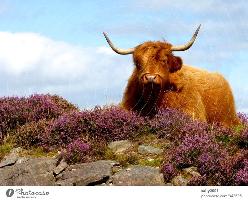 Siesta in the Highlands... Sunlight Summer Beautiful weather Heather family Mountain heather Rock Animal Farm animal Cow 1 Observe Relaxation Lie Dream Wait