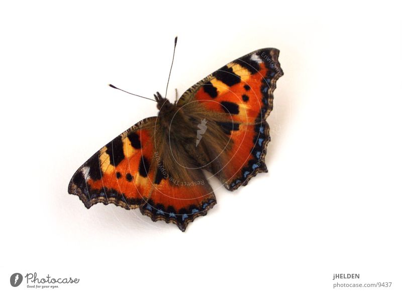 butterfly Beautiful Animal Butterfly Flying Dream Esthetic Natural Red Black White Emotions Romance Contentment Idyll Uniqueness Ease Peacock butterfly Insect