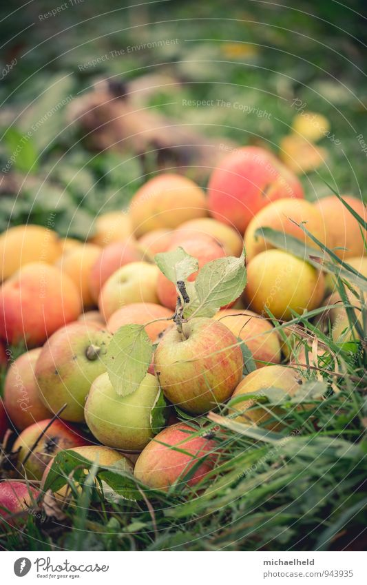 Apple harvest 1 Food Fruit Nutrition Organic produce Vegetarian diet Nature Autumn Agricultural crop Garden Fresh Healthy Idyll Sustainability Tradition
