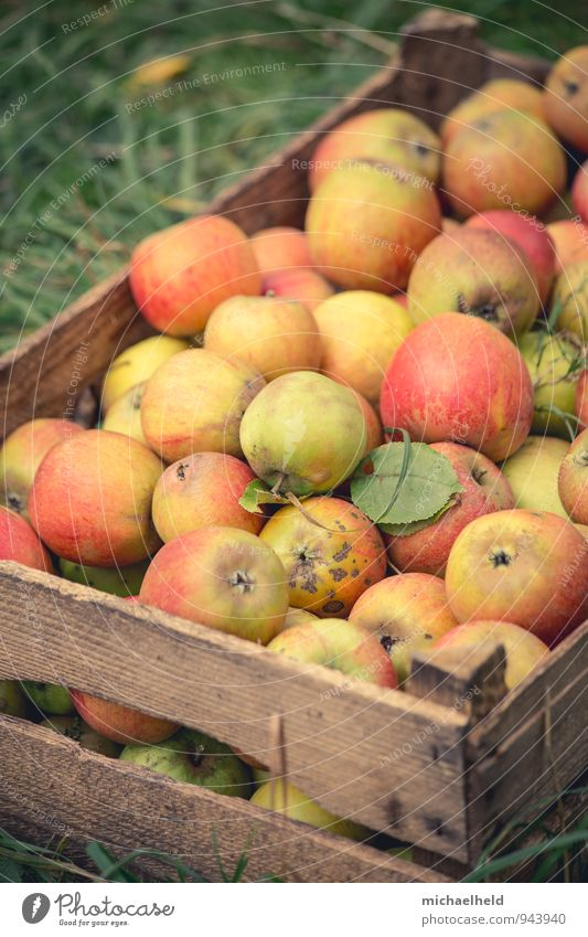 Apple harvest 4 Fruit Organic produce Vegetarian diet Diet Fasting Healthy apple box Healthy Eating Holstein Cox Cox Orange Colour photo Exterior shot