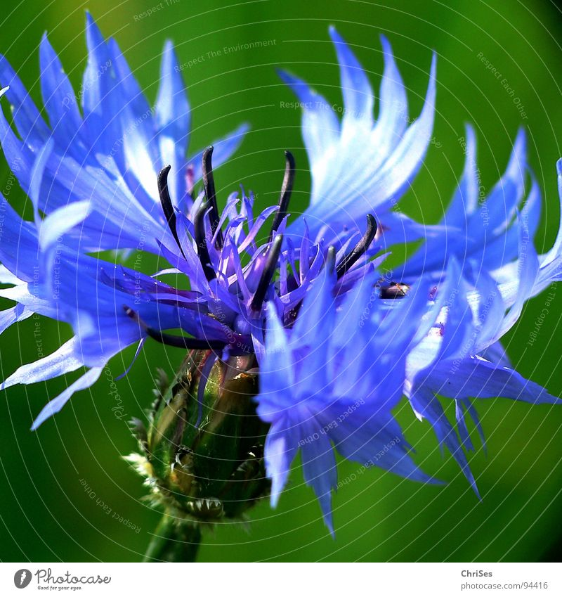 Sun Flower Green Blue Summer Meadow Blossom Spring Field Grain Grain Agriculture Stamen Cornflower