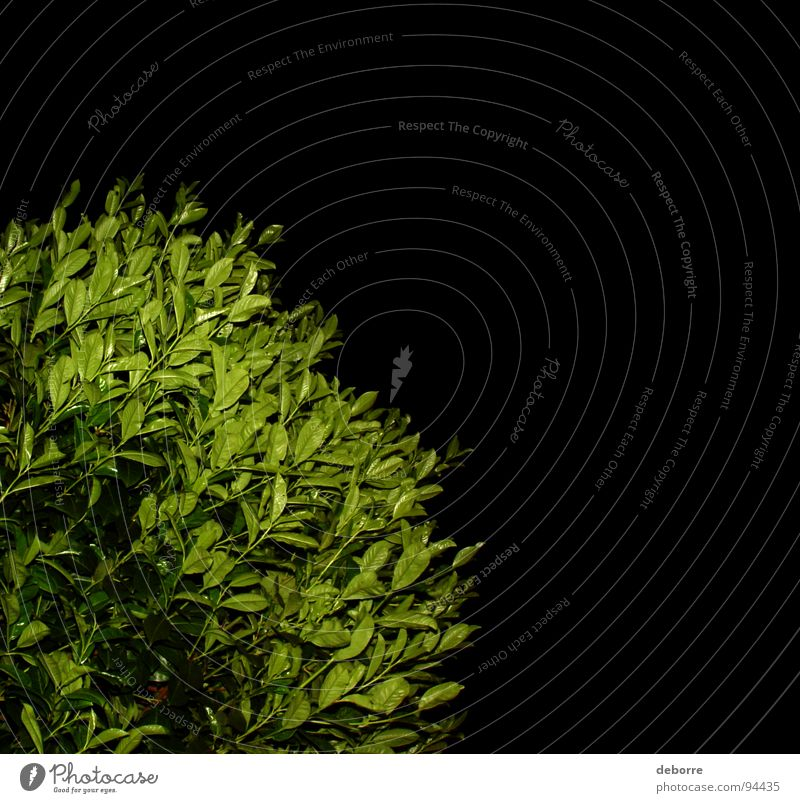 Green hedge photographed at night on a black background. Black Bushes Plant Night Dark Growth Garden Park Contrast Shadow Nature Placed