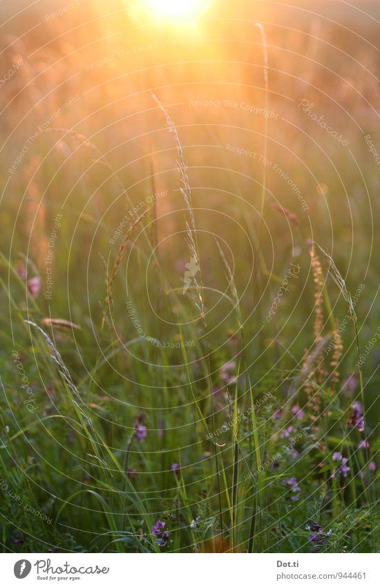 [some kitschy title] Environment Nature Plant Sun Sunrise Sunset Sunlight Summer Beautiful weather Grass Meadow Kitsch Moody Idyll Meadow flower Summer evening