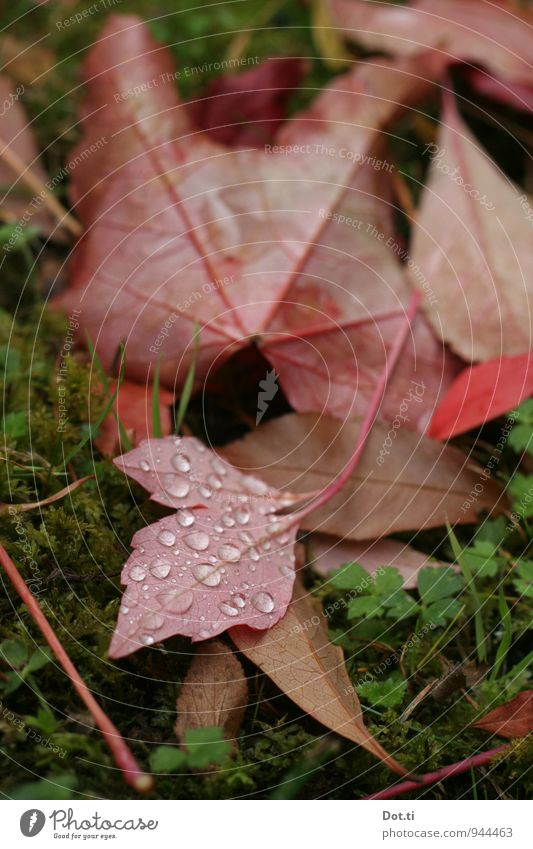 Nature Plant Green Red Leaf Autumn Garden Moody Idyll Drops of water Moss Dew Autumnal Vine leaf