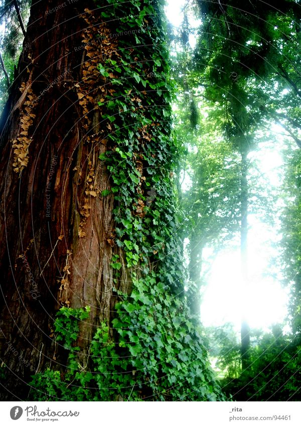 elephant tree Tree Ivy Forest Green Brown Light Tree bark Leaf Tendril Beautiful Spring Idyll Large Marula tree Might Wood Nature Backlight Sun Plant Tree trunk