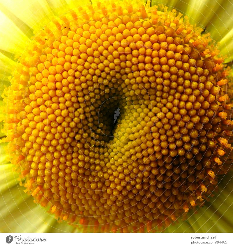 Yellow Blossom Close-up Blossoming Flower Sunflower Section of image Plant Partially visible Stamen Macro (Extreme close-up) Vigor