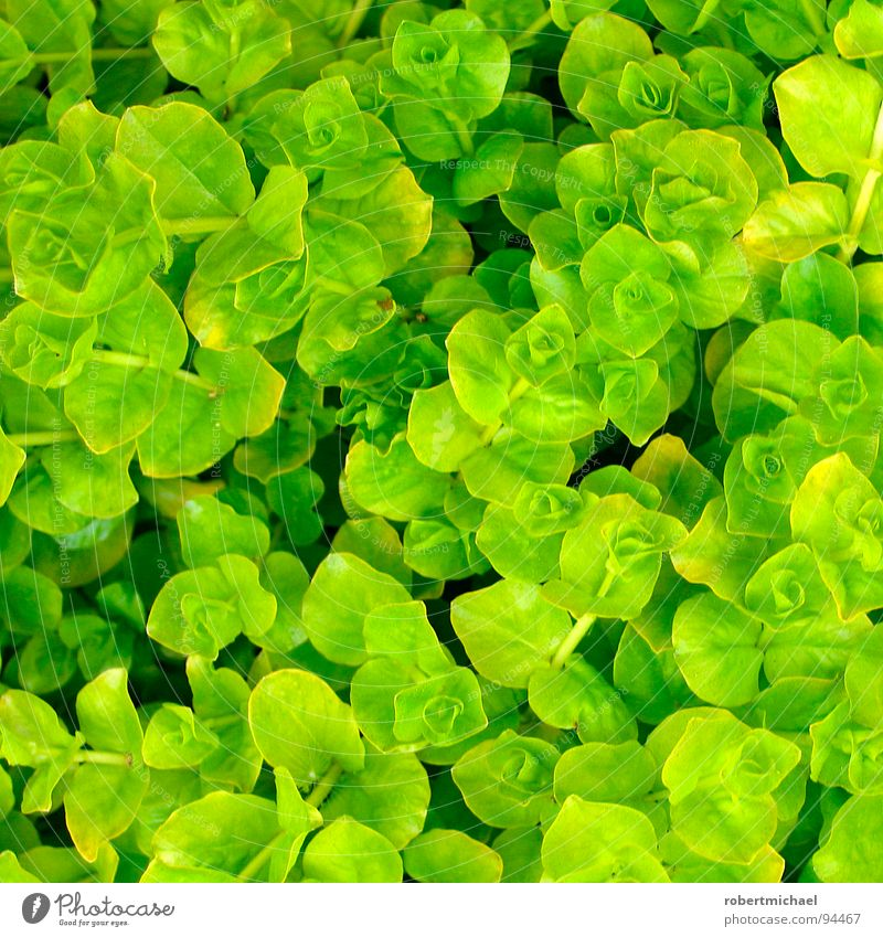 rosette sea at the salad bar Plant Flower Green Gardener Market garden Wary Individual Under Maturing time Growth Small Whorl Grass Clover Ocean Rosette